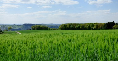 spring-barley-502363_1280