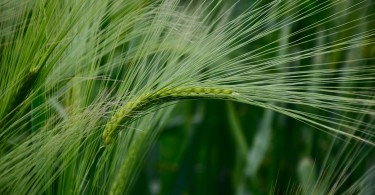 barley-345138_1280